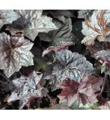 Heuchera micrantha 'Palace Purple' K9