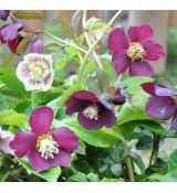 Helleborus ''Ballard hybrids' - color mix