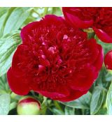 Paeonia lactiflora 'Red Charm'