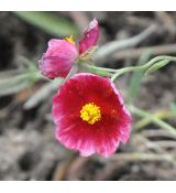 Helianthemum 'Ben Ledi'