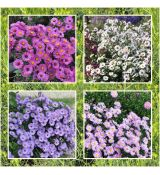 Autumn aster collection