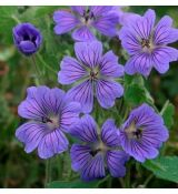 Geranium  'Phillipe Vapelle''