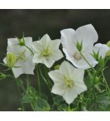 Campanula carpatica 'Uniform Select White'